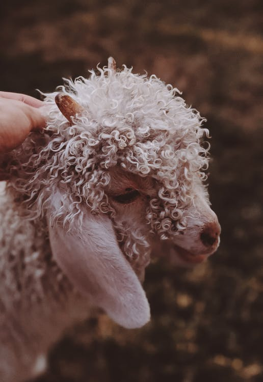 Curly-haired White Lamb
