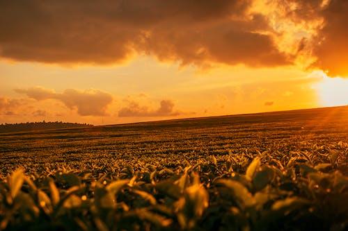 Photos gratuites de coucher de soleil, ferme de thé