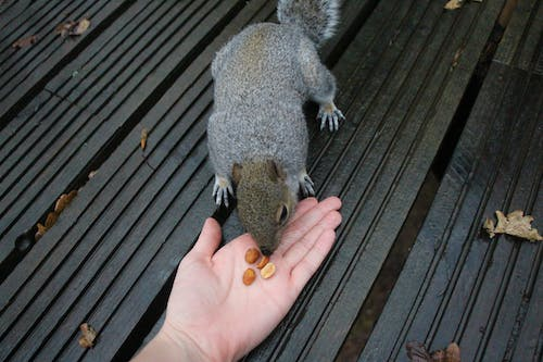 Free stock photo of eating, feeding, nuts, squirrel