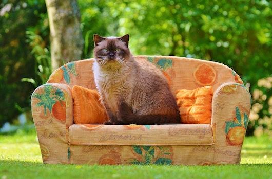 Himalayan Cat Sitting on Orange Sofa Chair during Daytime