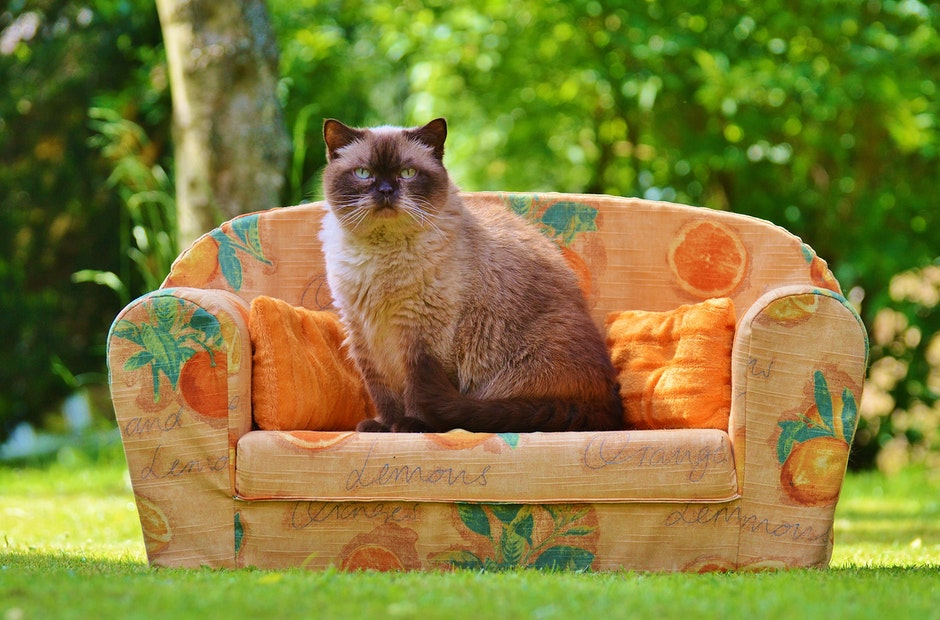 Himalayan Cat Sitting on Orange Sofa Chair during Daytime