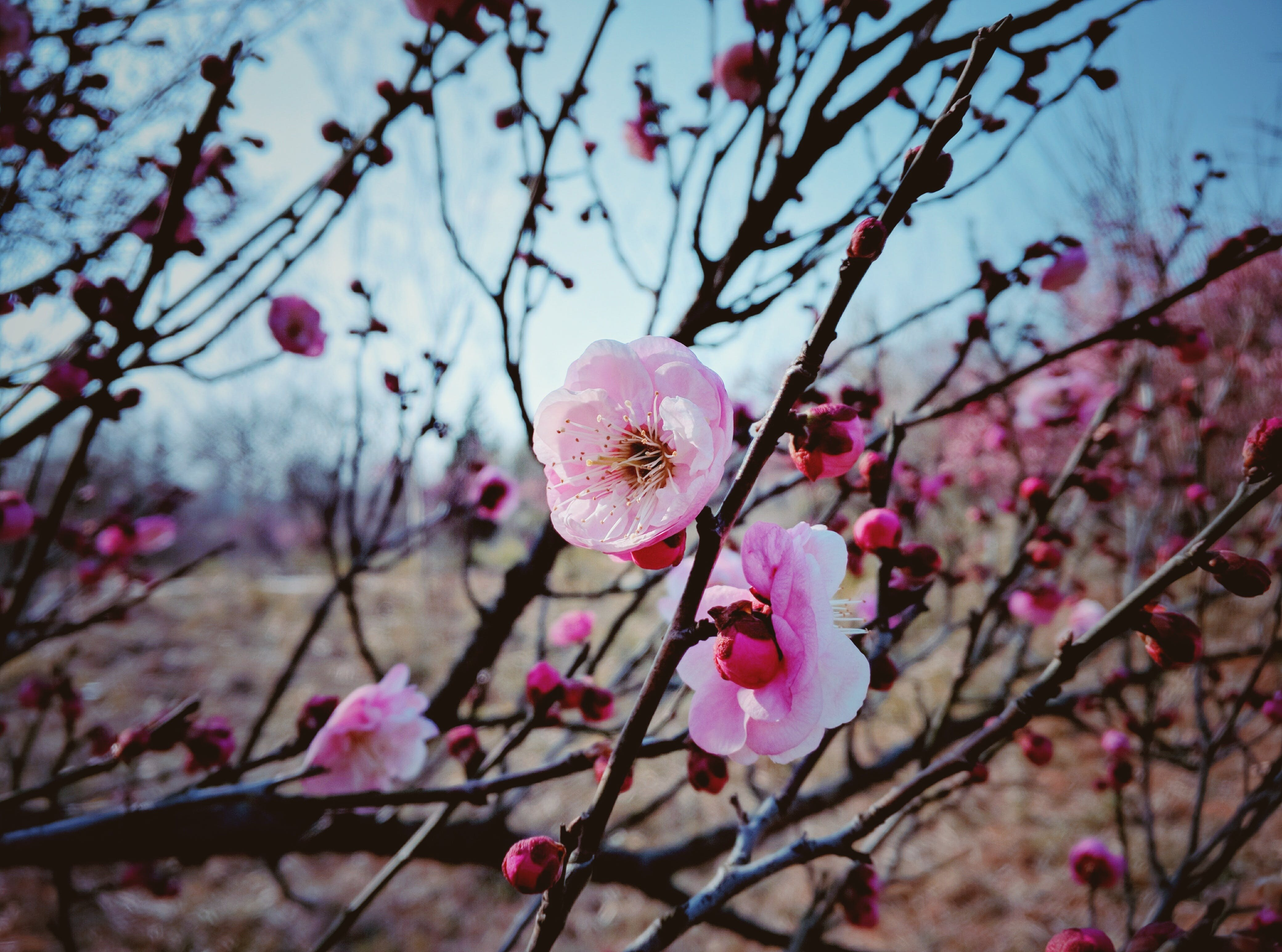 Selective Focus Photography of Cherry Blossoms Tree