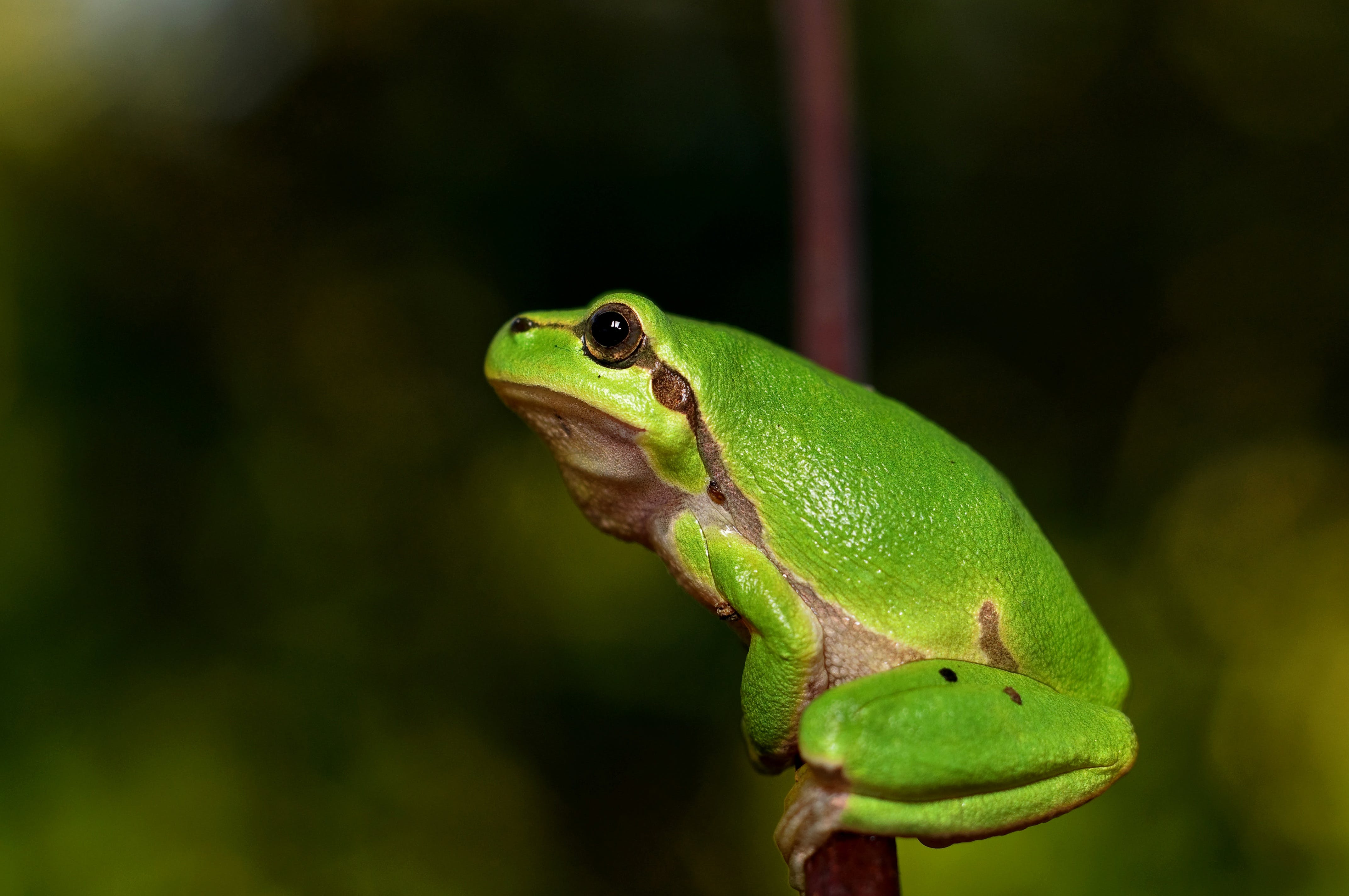 Free stock photo of animal, green, frog, toad