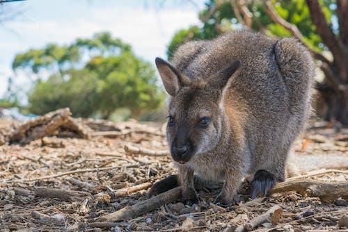Free stock photo of animal, australia, wallaby, wildlife
