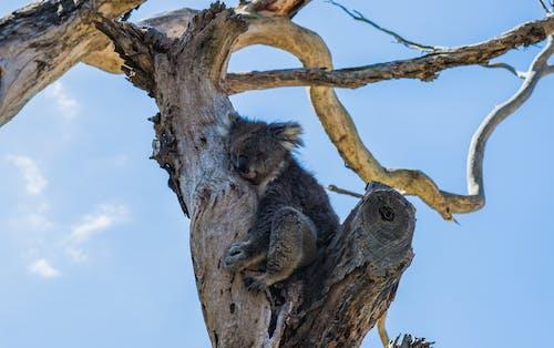 คลังภาพถ่ายฟรี ของ สัตว์, สัตว์ป่า, หมีโคอาล่า, ออสเตรเลีย