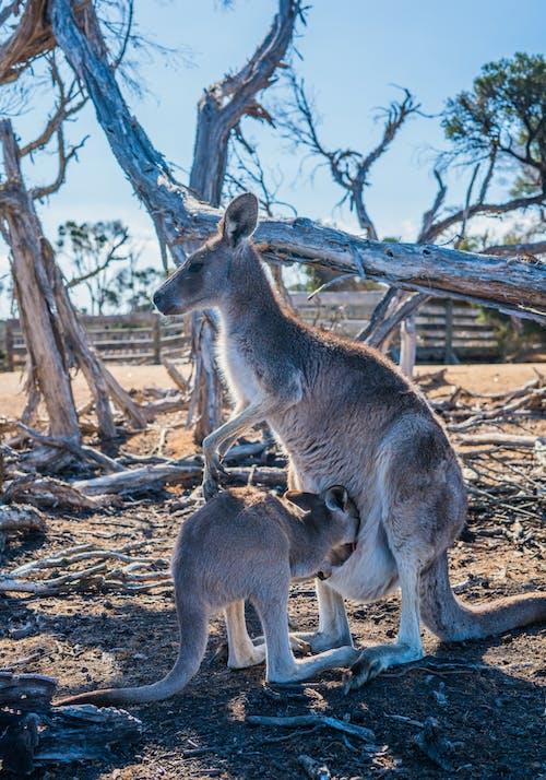 オーストラリア, カンガルー, フォーカス, ポーチの無料の写真素材