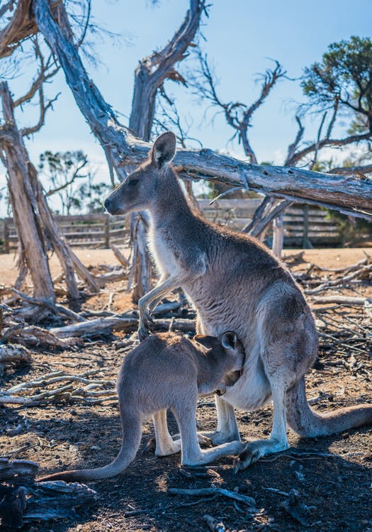Brown Kangaroo Near Tree