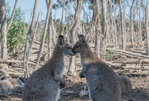 Free stock photo of animal, australia, kangaroo, wildlife