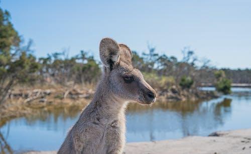 คลังภาพถ่ายฟรี ของ จิงโจ้, สัตว์, สัตว์ป่า, ออสเตรเลีย