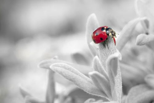 7 Spotted Ladybug on Leaf in Selective Color Photography