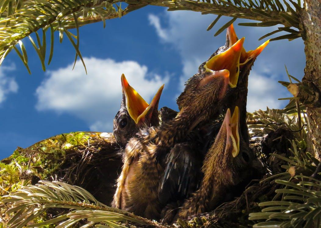 Four Black Chicks in Nest