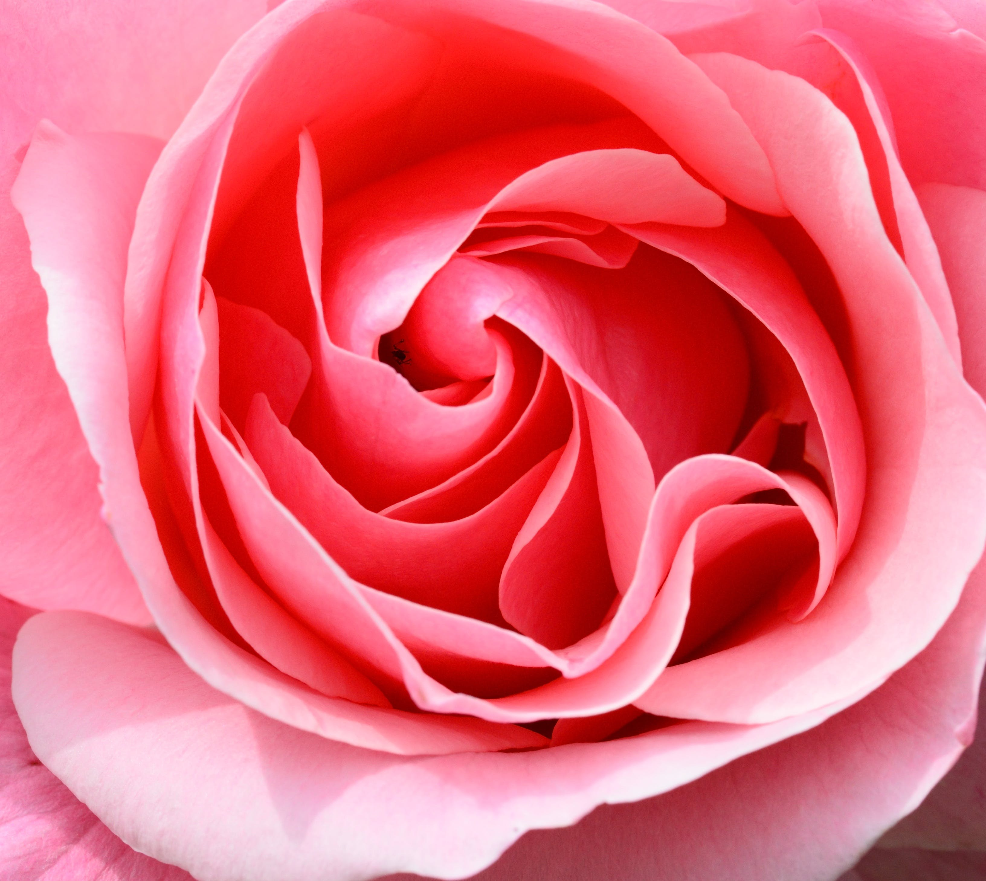 Pink Rose Macro Photography