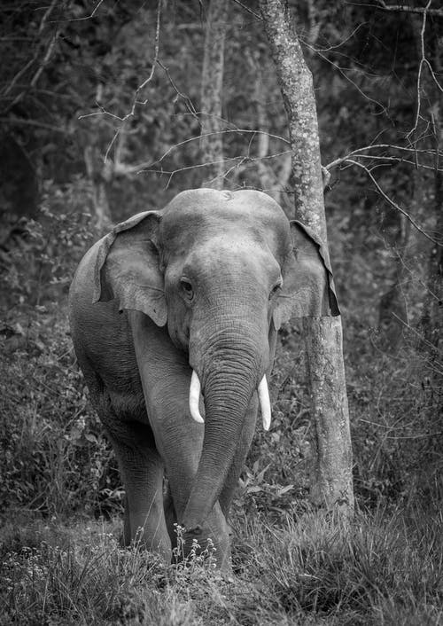 Monochrome Photo of Elephant
