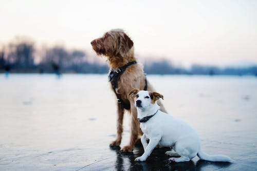 Brown and White Dogs Sitting on Field