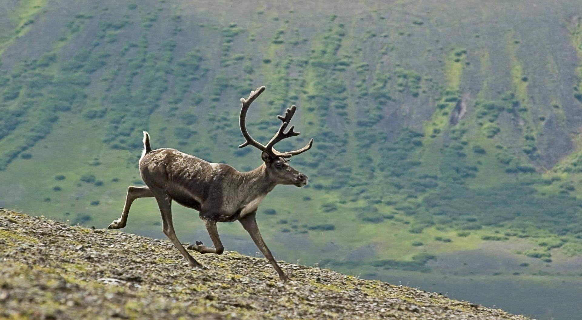 Free stock photo of alaska, aniakchak national monument, animal, antlers