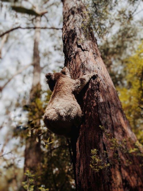 ağaç, ağaç kabuğu, Avustralya, doğa içeren Ücretsiz stok fotoğraf