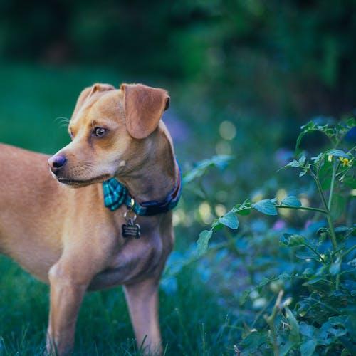 Безкоштовне стокове фото на тему «собака, чіхуахуа»