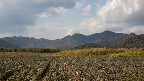 Free stock photo of farm fields, mountains, pineapple fields, pineapple plant