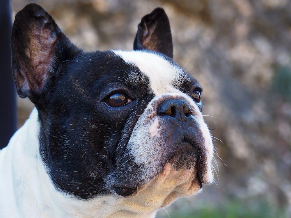 dog, french bulldog, look