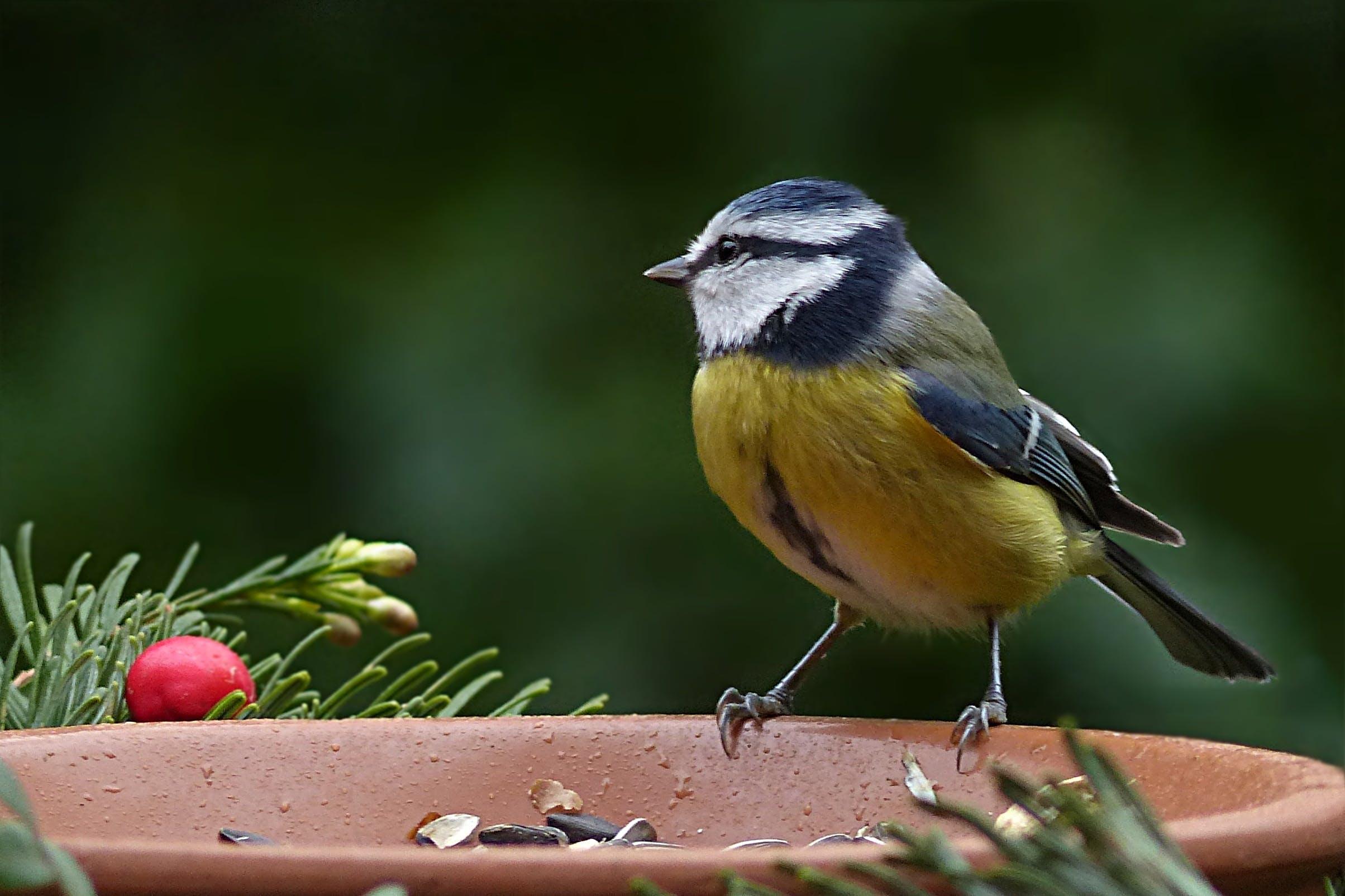 Free stock photo of bird, garden, blue tit, foraging