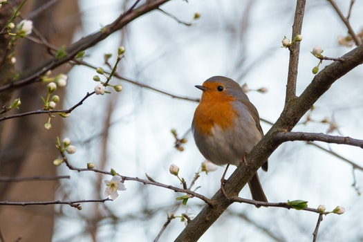 Free stock photo of bird, branch, robin, songbird