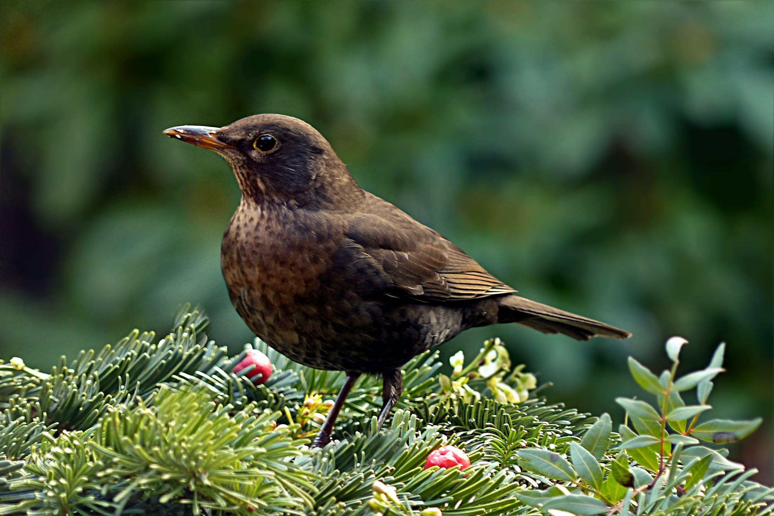 Free stock photo of bird, female, foraging, garden
