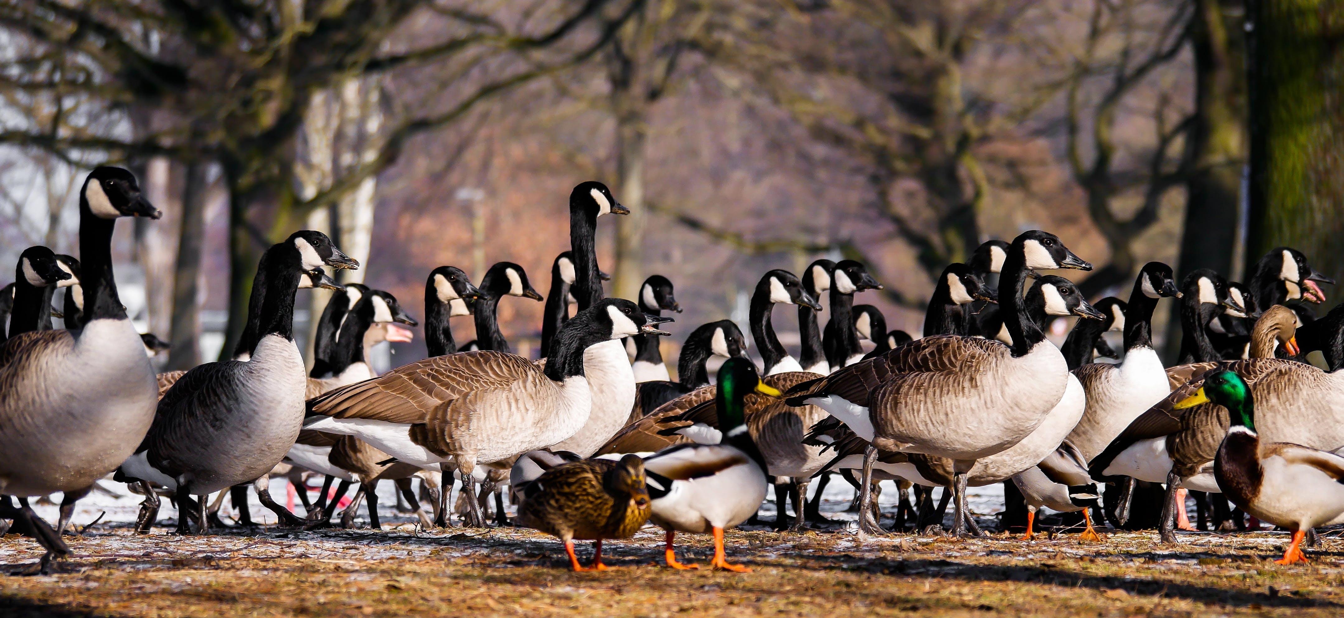 animals, bill, ducks