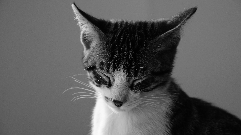 Free stock photo of black-and-white, dream, cat, domestic