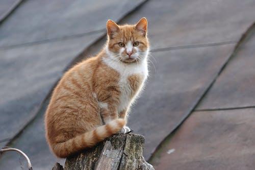 Orange and White Tabby Cat on Wood