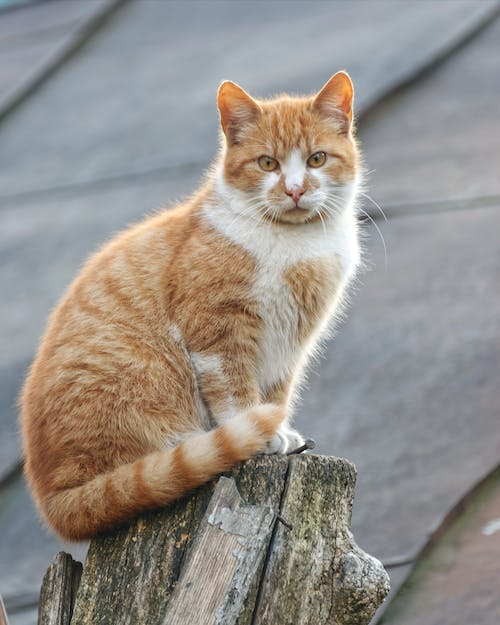 Orange and White Tabby Cat on Gray Wooden Log
