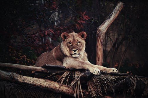 Wildlife Photography of Brown Lion
