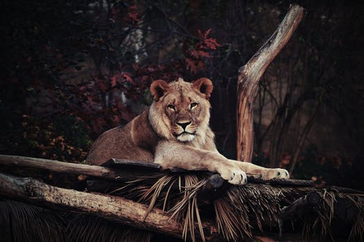 black and white lion photograph free stock photo