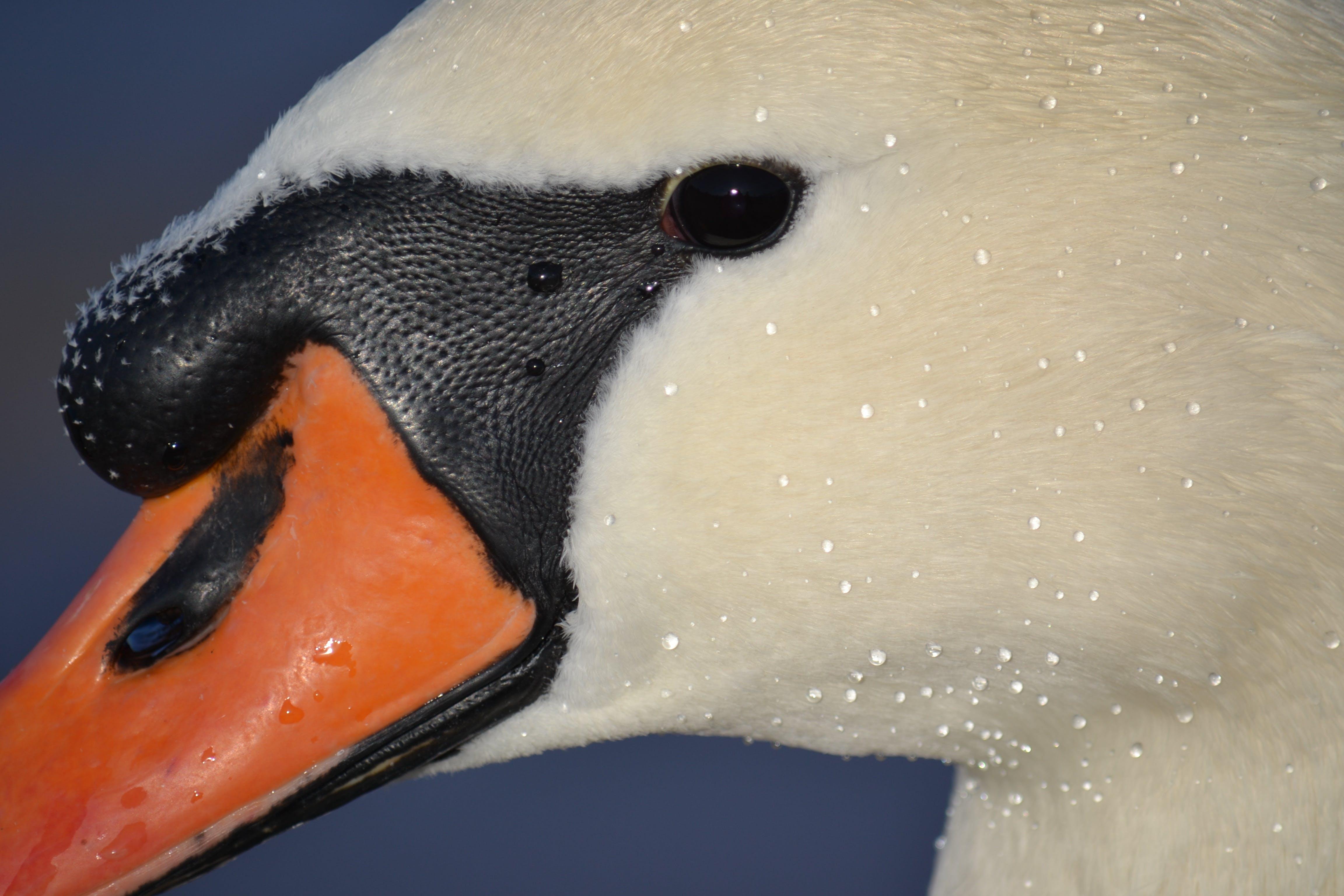 Free stock photo of animal, drop of water, swan, eye