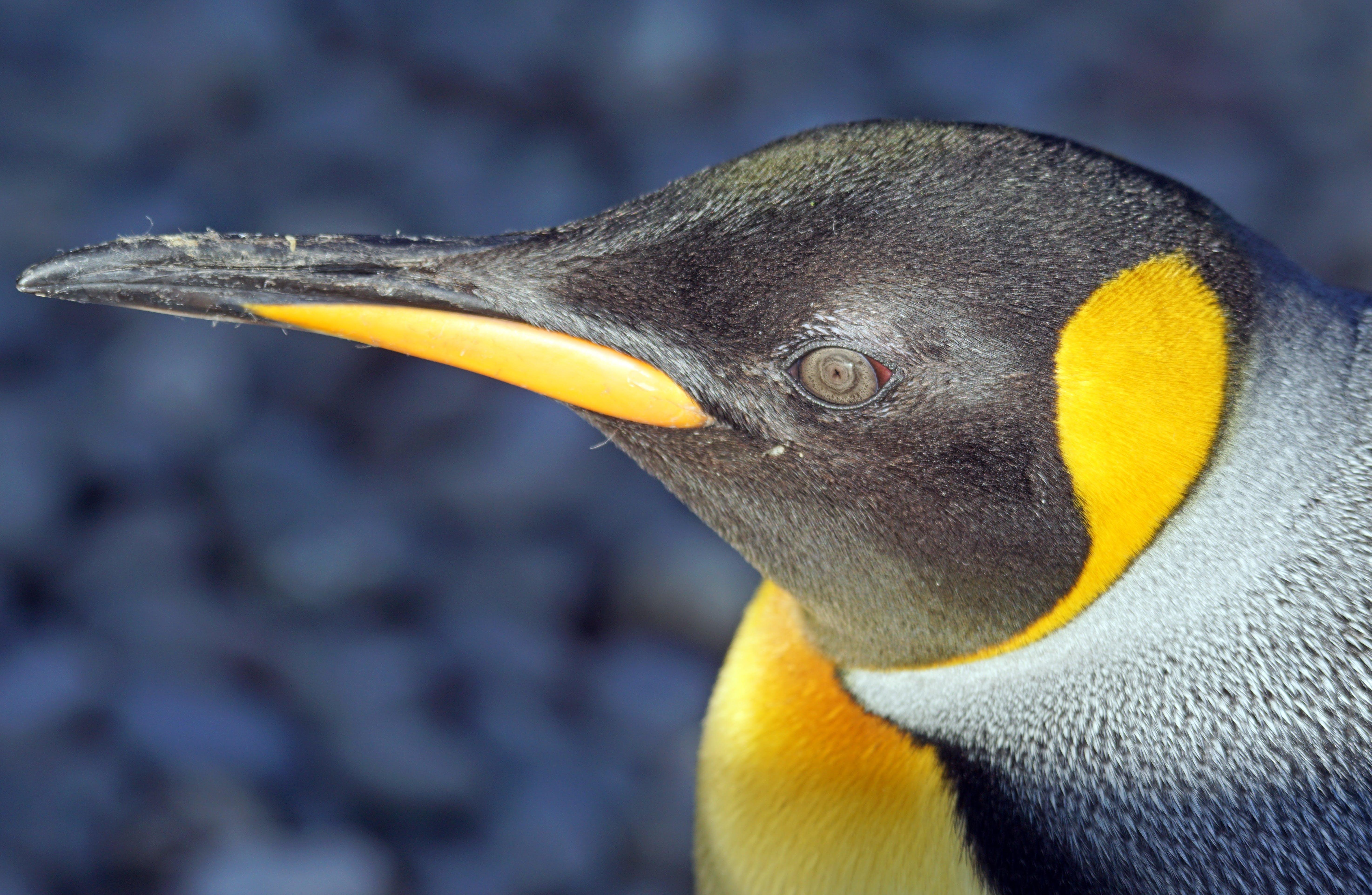 Free stock photo of yellow, animal, water bird, antarctica