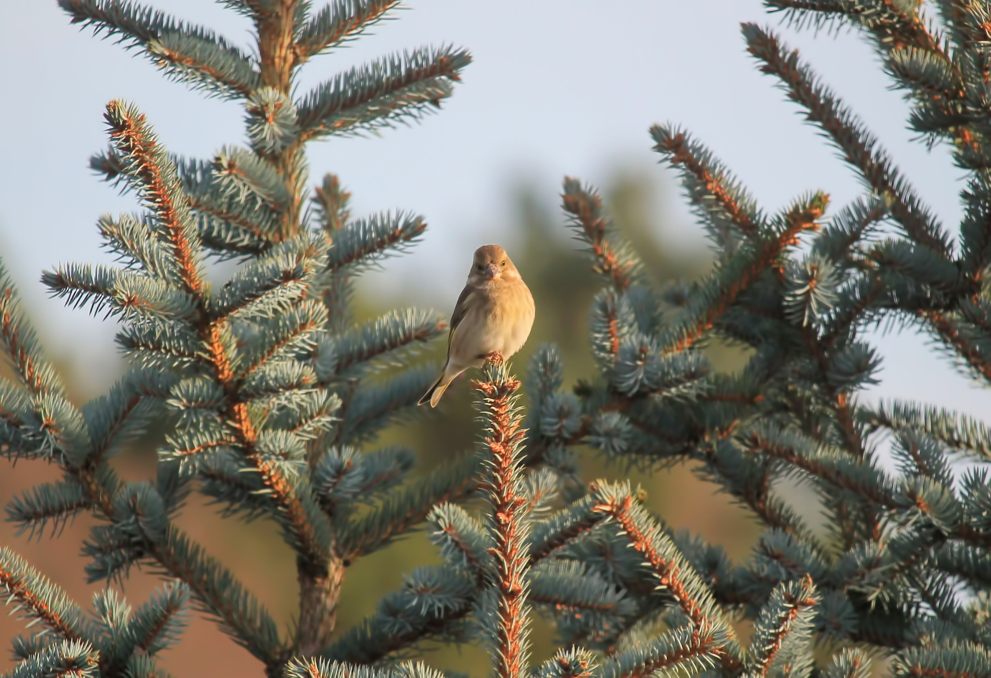 Free stock photo of bird, blue spruce, female, greenfinch