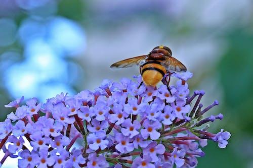 Ingyenes stockfotó állat, beporzás, darázs, háziméh témában