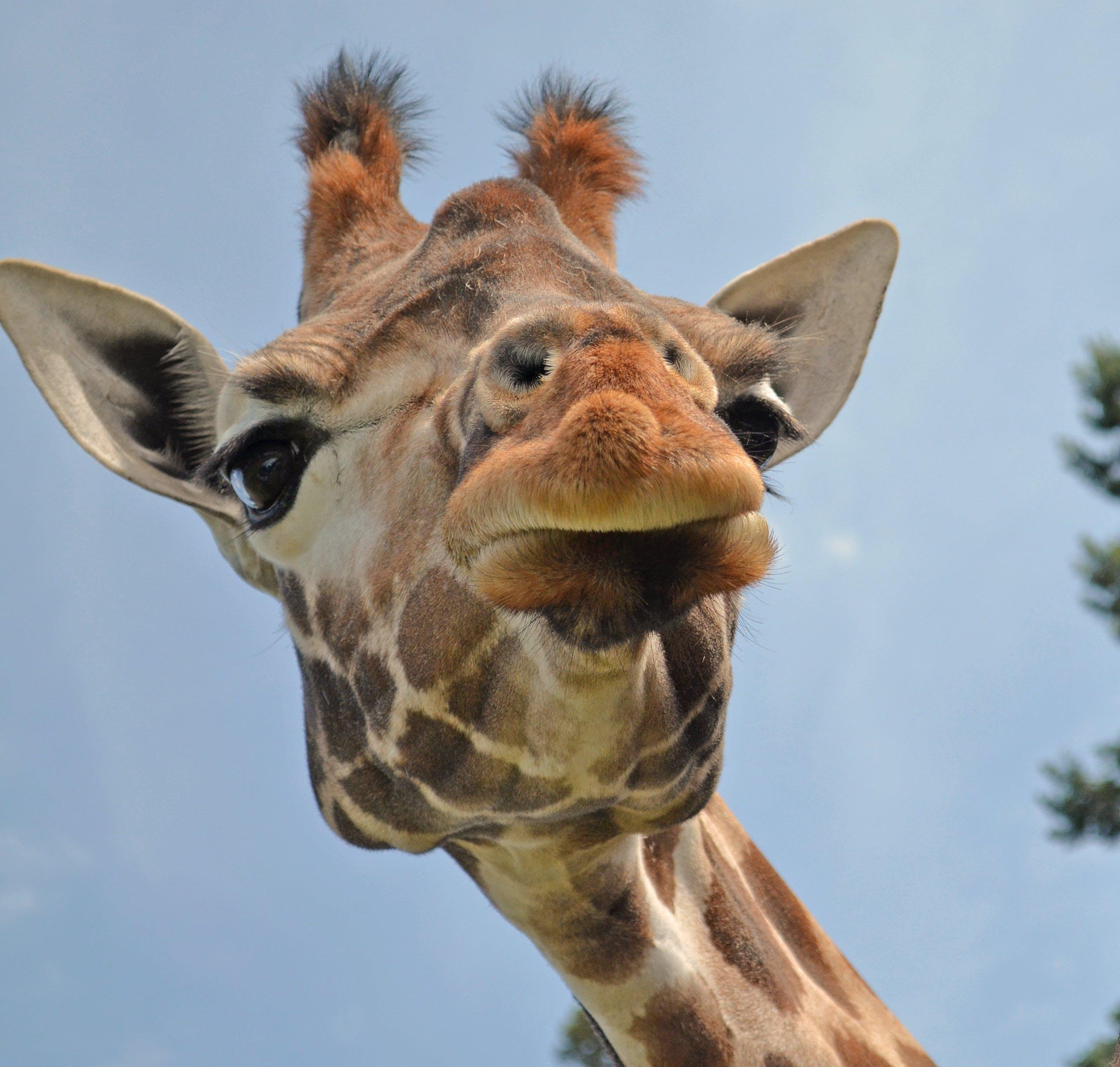 Free stock photo of animals, zoo, giraffe, close