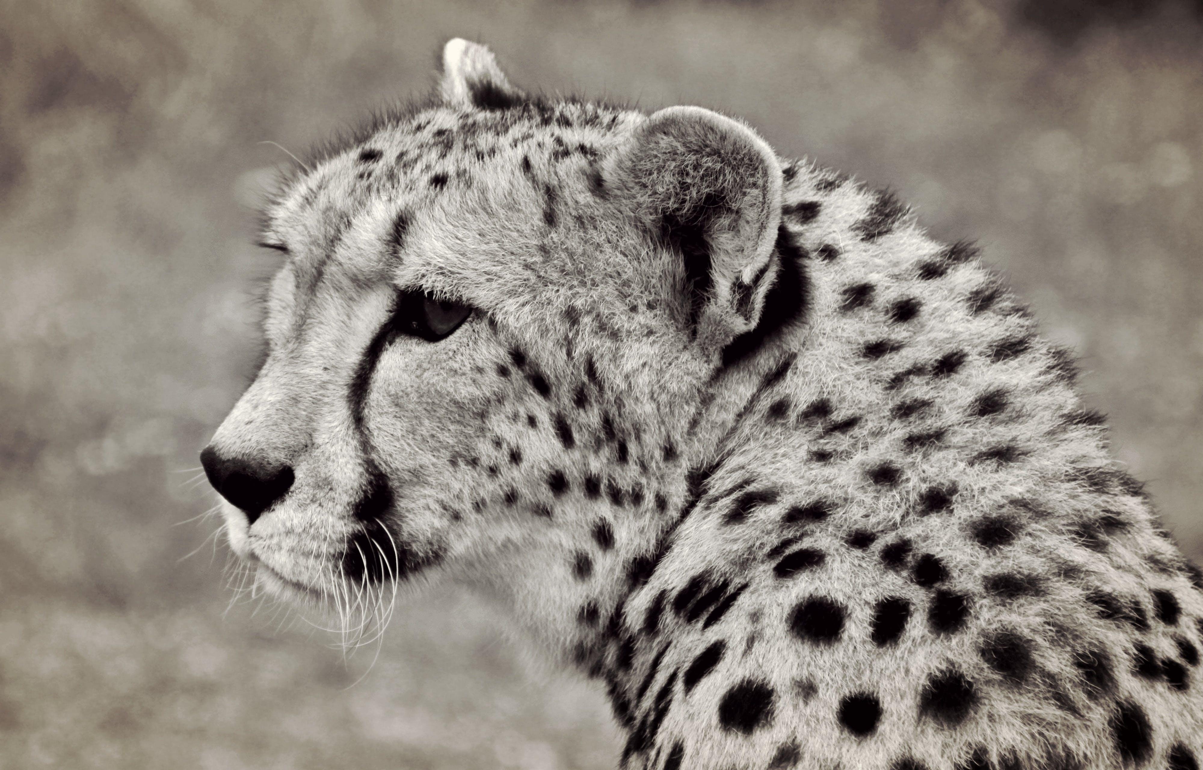 Gray and Black Cheetah