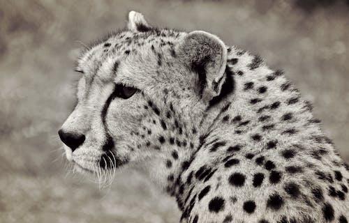 Fotos de stock gratuitas de animal, animal salvaje, bigotes, blanco y negro