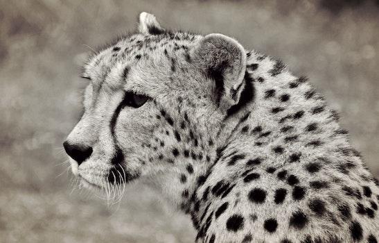 Free stock photo of black-and-white, animal, fur, dangerous
