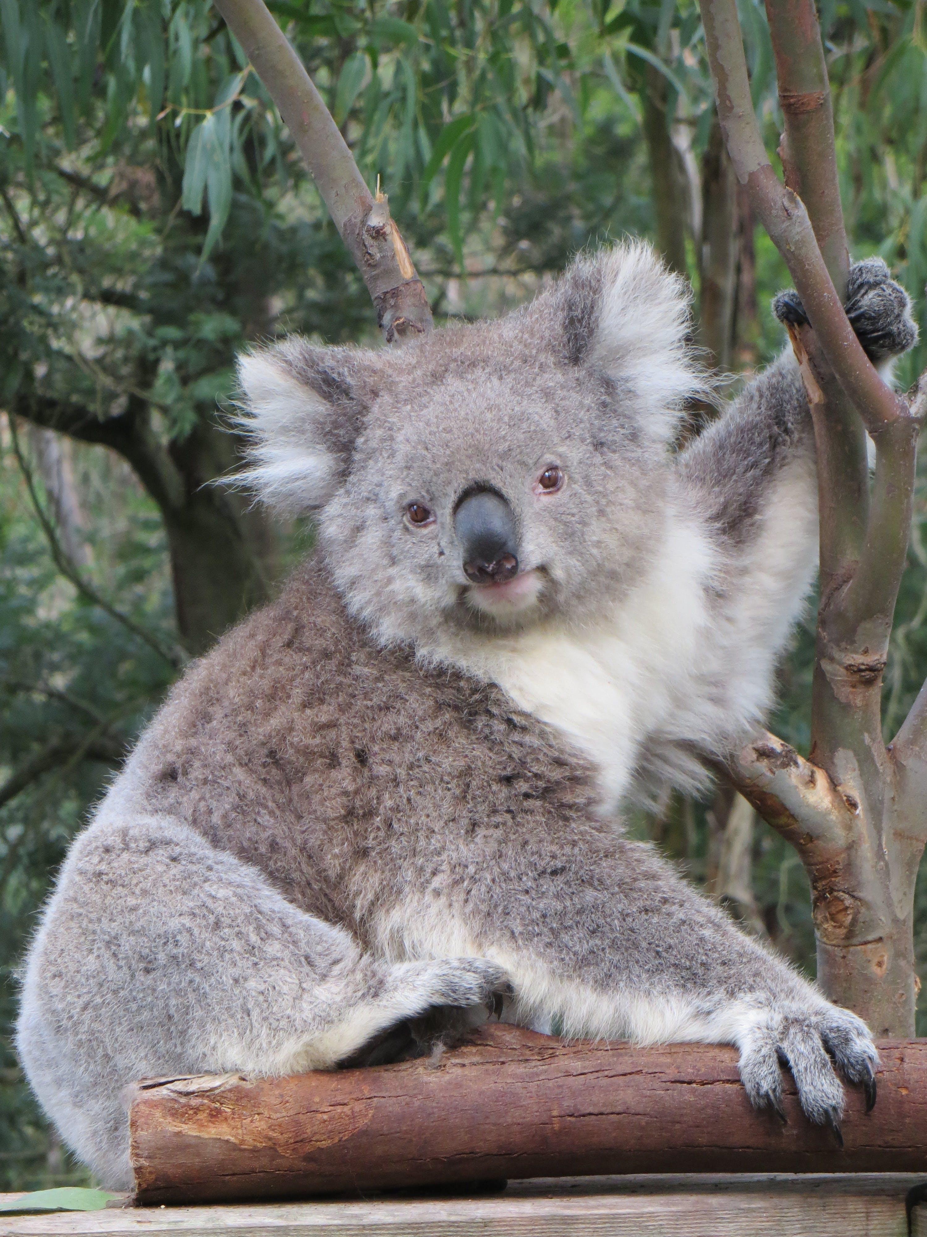 Free stock photo of nature, australia, animal, cute