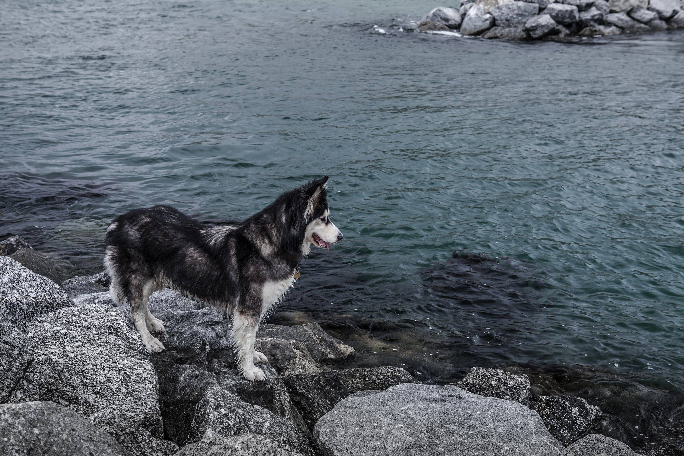 Siberian Husky on Stone