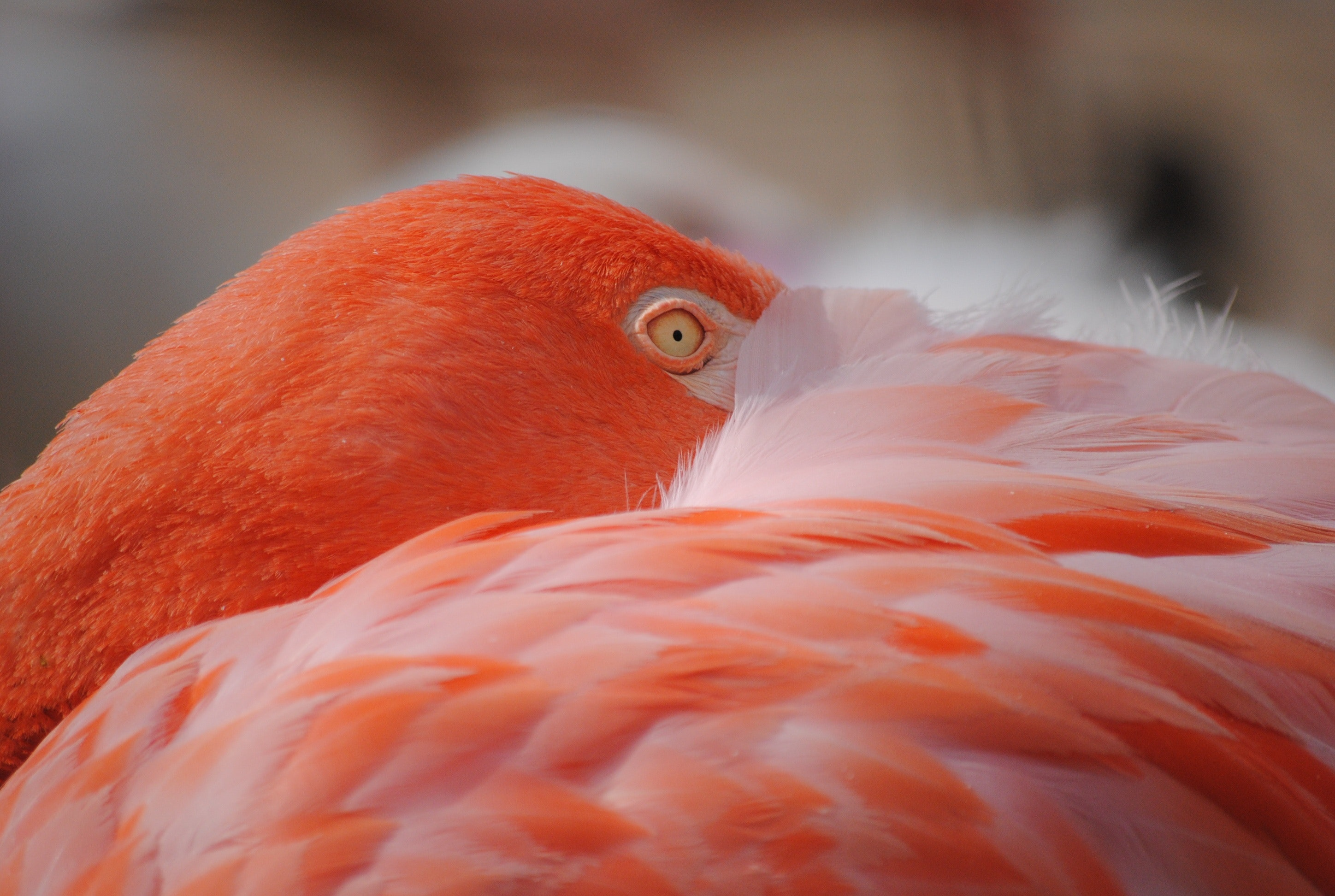 Red Flamingo · Free Stock Photo