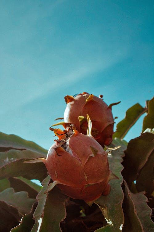Free stock photo of Asian, bright, cactus, close-up