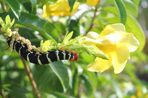 Free stock photo of caterpillar, flower, frangipani