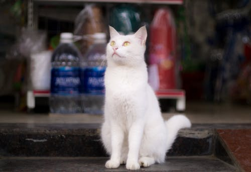 Fotobanka sbezplatnými fotkami na tému biela mačka, mačka