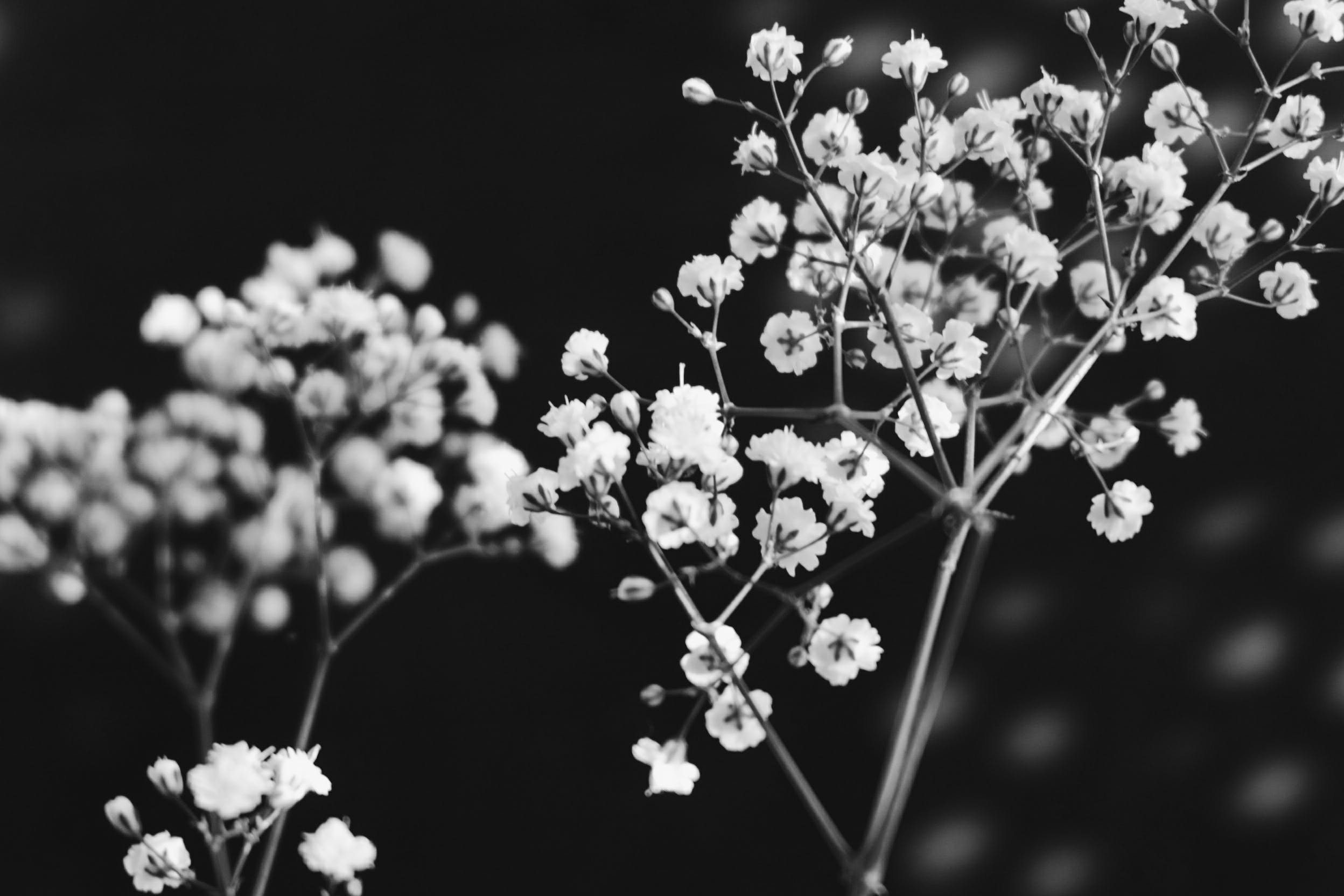 Free stock photo of black-and-white, flowers, branch