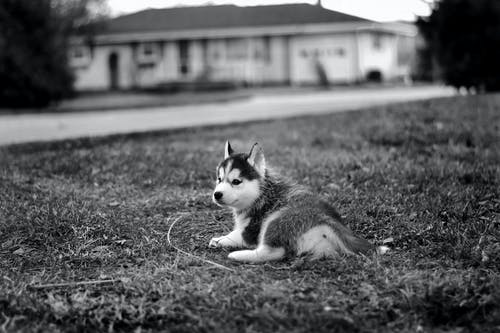 Grayscale Photo of Siberian Husky Lying on Grass