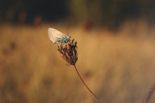 Blue Butterfly Standing on Brown Flower Bud