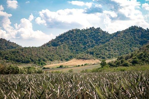 Free stock photo of farm fields, mountains, pineapple plant